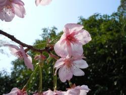 DSCN6288河津桜