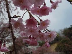 DSCN6440紅枝垂れ桜