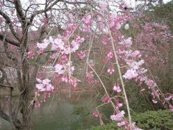 DSCN6435紅枝垂れ桜