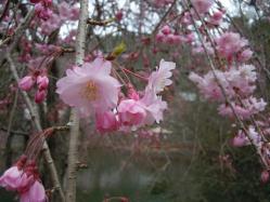 DSCN6436紅枝垂れ桜