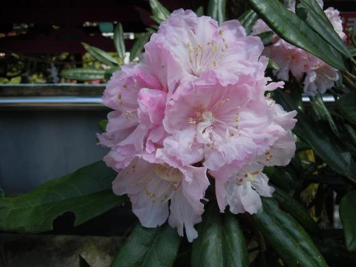 DSCN6641石楠花 (しゃくなげ)