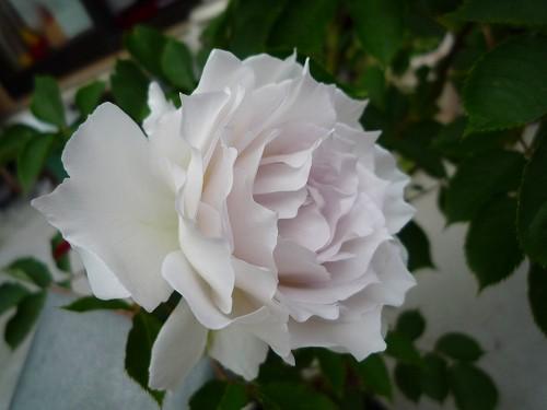 ガブリエル初開花