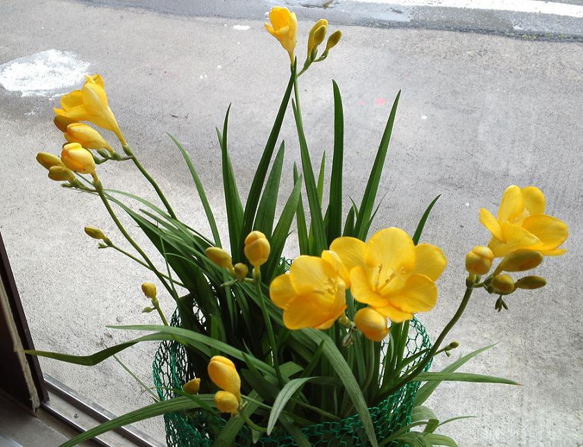 フリージアが咲いたので (2)