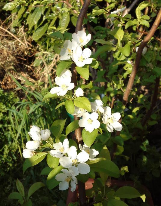 ヒメリンゴ開花