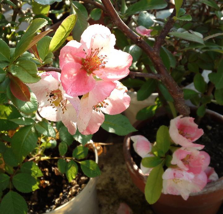 ボケの花開花