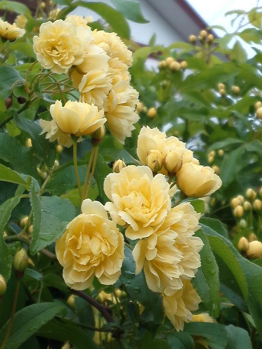 黄花木香薔薇