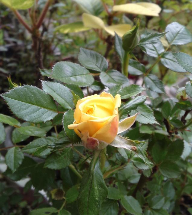 H24ミニバラ黄色