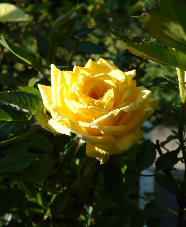 黄バラ開花