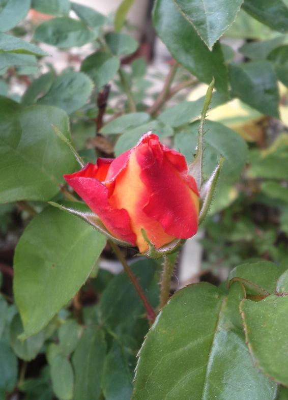 アンネのバラ・つぼみ