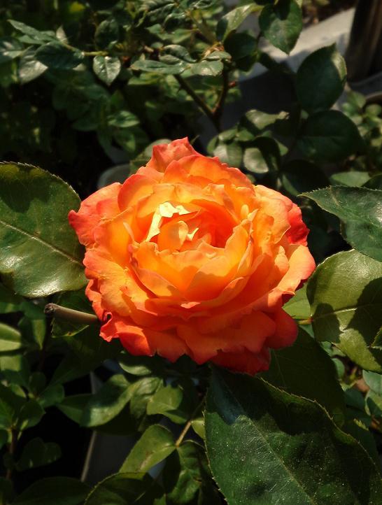アンネのバラ開花