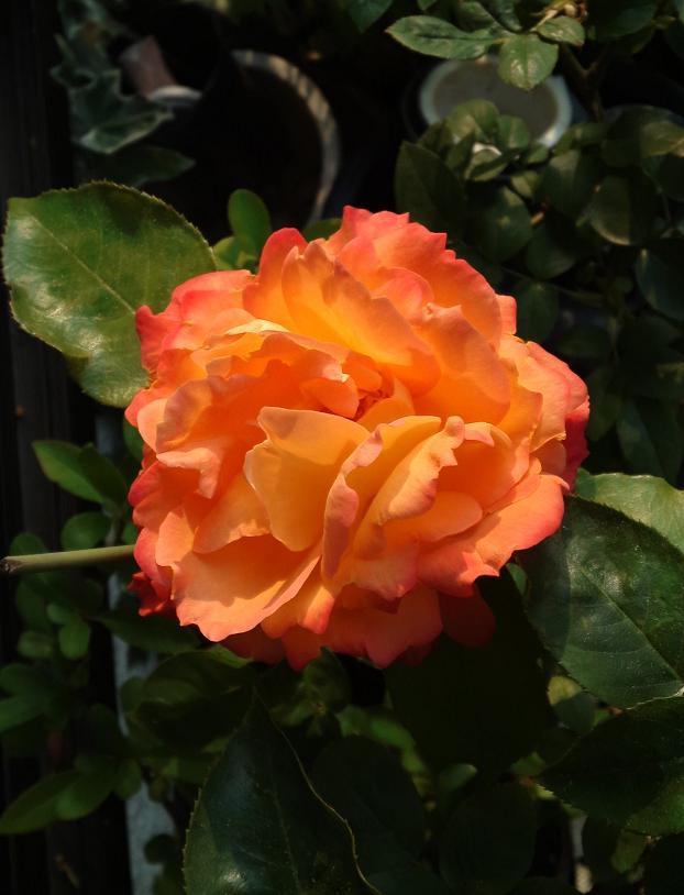 アンネのバラもっと開花