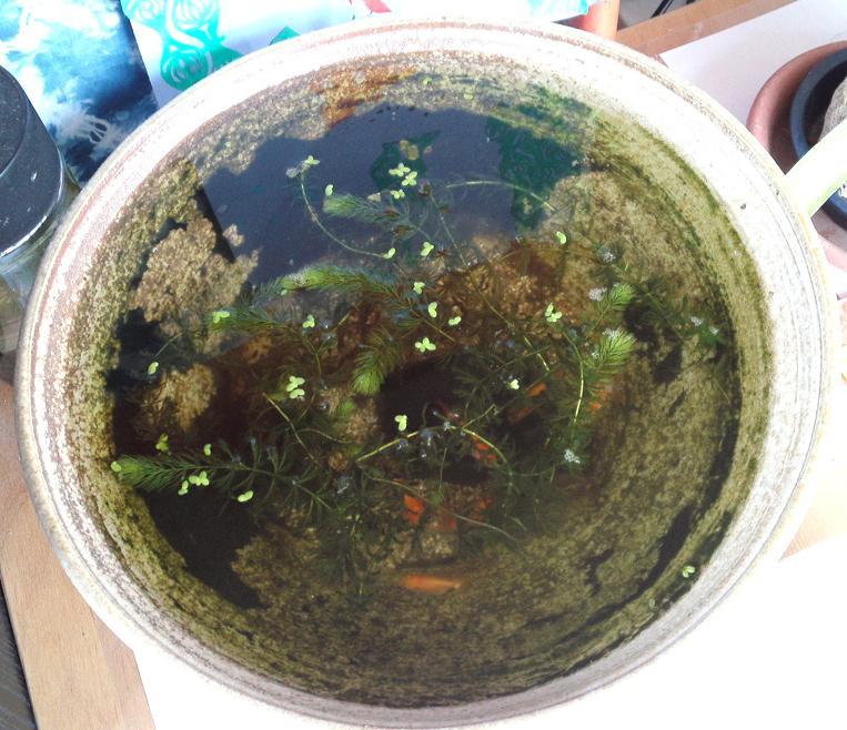 らんちゅう藻食い (2)
