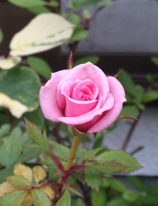 ミニバラ・ピンク