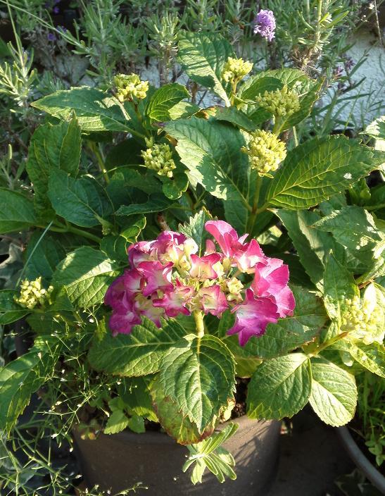 H24紫陽花