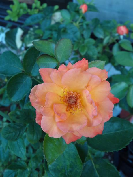 アンネのバラ真夏咲き