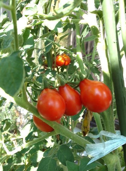プランター育ちのミニトマト