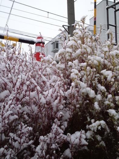 ほうき草・雪積もる
