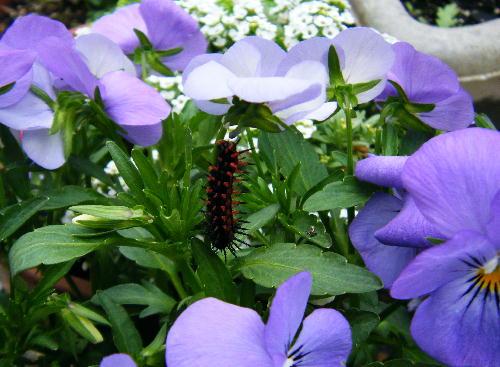 ツマグロヒョウモンチョウ幼虫
