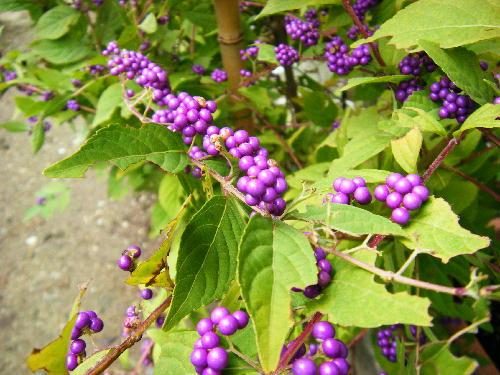 紫式部の果実