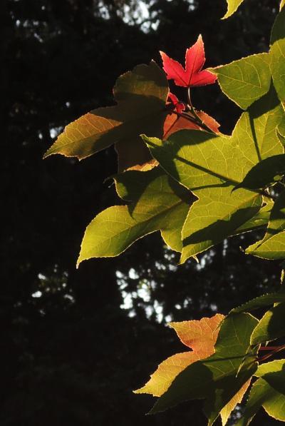 赤い葉_convert_20120527210608