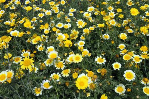 春菊2_convert_20120528203223