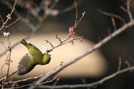 花見鳥(ハナミドリ)ホーホケキョ!
