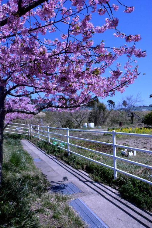 夷隅川の河津桜
