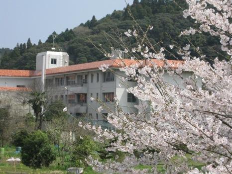 大多喜町役場の桜