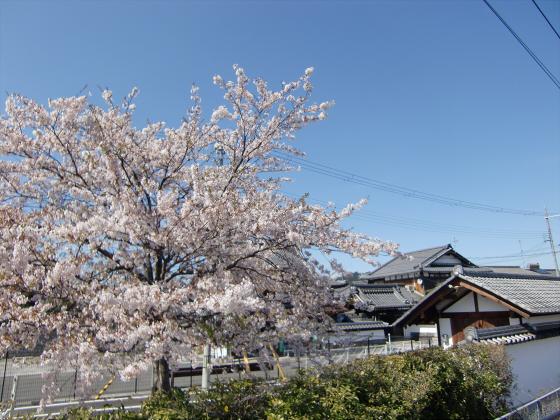 安土の桜2012-01