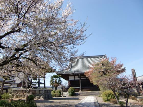 安土の桜2012-05