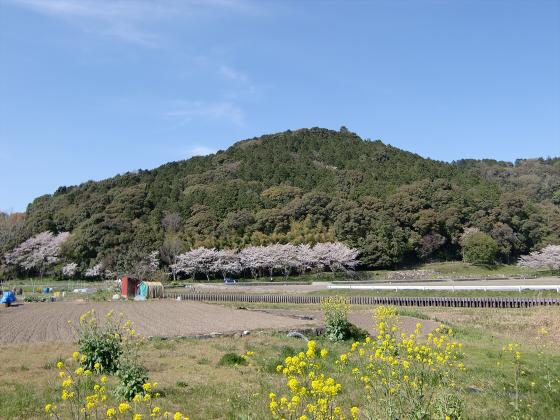 安土の桜2012-06