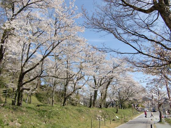 安土の桜2012-09