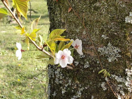 安土の桜2012-11