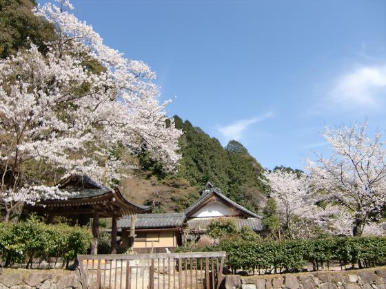 安土の桜2012-15