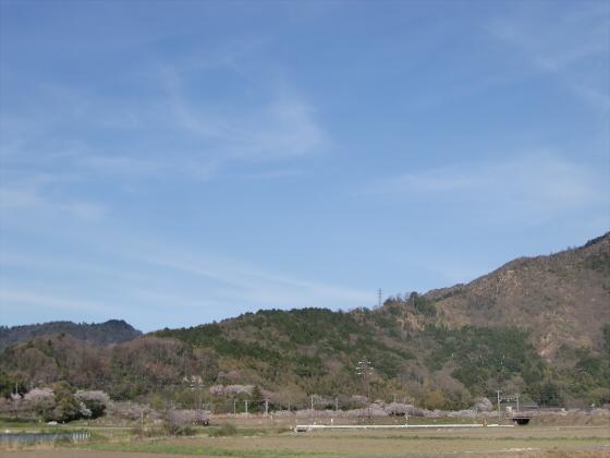 安土の桜2012-16