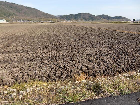 安土の桜2012-17