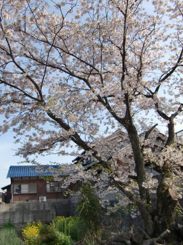 安土の桜2012-19