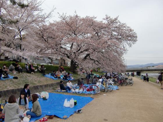 鴨川の桜~白峯神社03