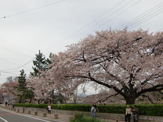鴨川の桜~白峯神社04