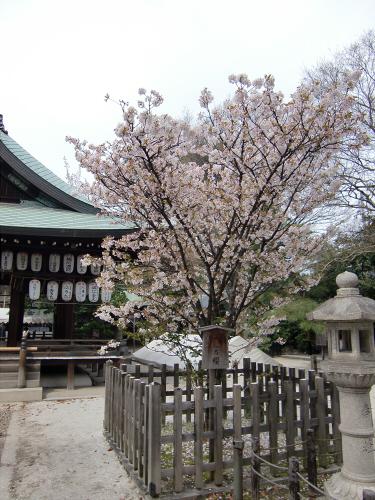 鴨川の桜~白峯神社11
