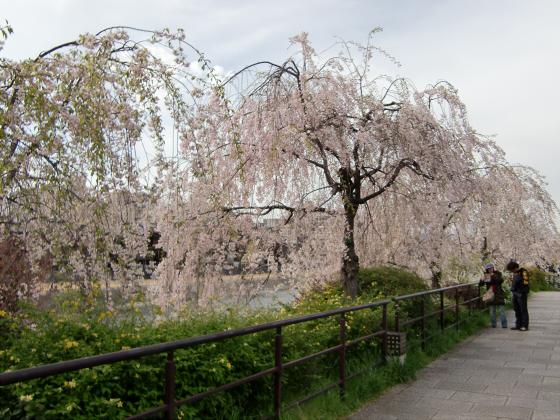 京都の桜2012-番外編03