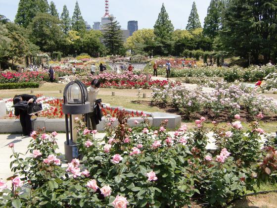 靱(うつぼ)公園のバラ園01