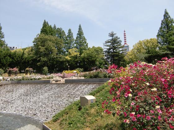 靱(うつぼ)公園のバラ園04