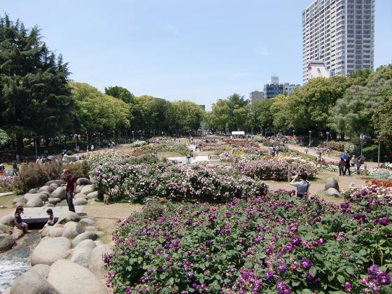 靱(うつぼ)公園のバラ園12