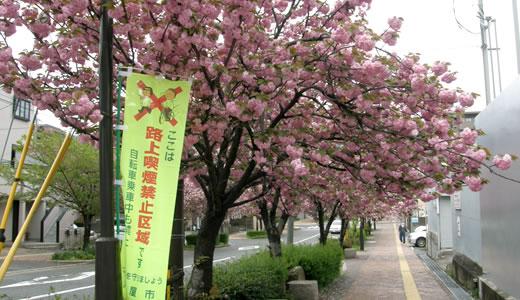 芦屋市立体育館通りの桜-1