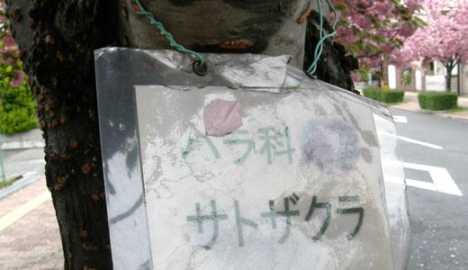 芦屋市立体育館通りの桜-3