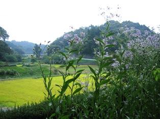 シオンの花と色づく田んぼ、小
