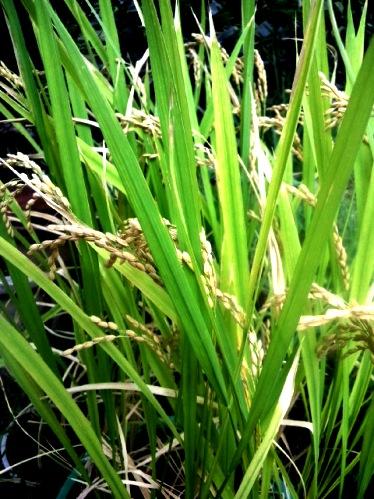裏庭の稲 稲刈りです①