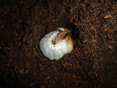 南大東島産ダイトウヒラタ幼虫