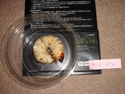 2012.11.2 オオクワ2本目(豊能町産)